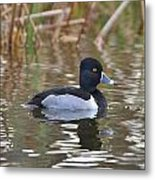 Diving Duck Metal Print