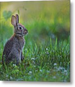 The Eastern Cottontail Metal Print