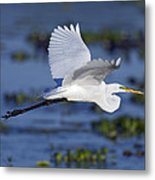 The Elegant Great Egret In Flight Metal Print