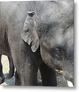 Asian Elephant Close Up Metal Print