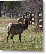 The Elk In Town Metal Print