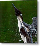 The Ever Elusive Loon Coming Out Of Dive Metal Print