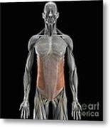 The External Oblique Muscles Metal Print