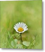 The First White Daisy Metal Print