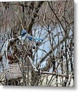 The Gathering Blue Jay Metal Print