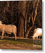 The Gazing And Grazing Sheep Metal Print