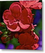 The Geraniums Metal Print