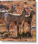 The Goats Of Kings Metal Print