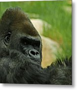 The Gorilla 2 Metal Print