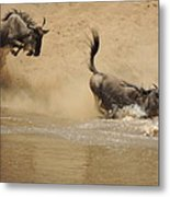 The Great Migration Wildebeest Crossing Metal Print