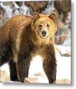 The Grizzly Strut Metal Print