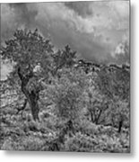 The Grouped Cottonwoods  Metal Print