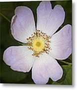 The Humble Dog Rose Metal Print