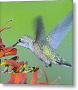 The Humming Bird Sips  Metal Print by Jeff Swan