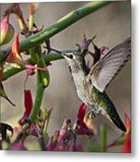 The Hummingbird And The Slipper Plant  Metal Print