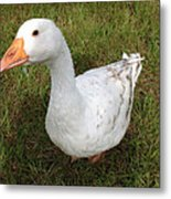 The Inquisitive Goose Metal Print