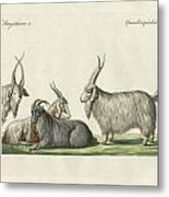 The Kashmir Goats Introduced In France Metal Print