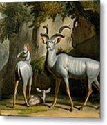 A Kudus Or Kudu Metal Print