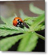 The Ladybug And The Cannabis Plant Metal Print