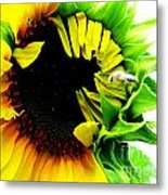 The Largest Sunflower In The Garden Summer Of 2013 Metal Print
