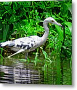The Little Blue Heron Metal Print