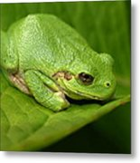 The Little Frog Metal Print