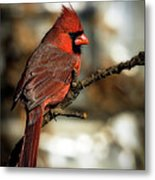 The Male Northern Cardinal Metal Print