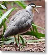 The Masked Lapwing Vanellus Miles Previously Known As The Mask Metal Print