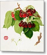 The May Duke Cherry Metal Print by William Hooker