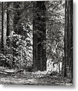 The Mighty Redwood Metal Print