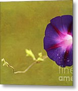 The Morning Glory Metal Print by Darren Fisher