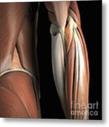 The Muscles Of The Elbow Rear Metal Print
