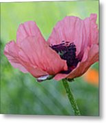 The One And Only Pink Poppy Metal Print