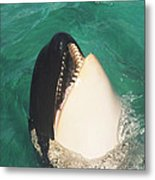 The Original Shamu Orca Whale At Sea World San Diego California 1967 Metal Print