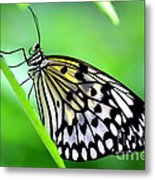 The Paper Kite Or Rice Paper Or Large Tree Nymph Butterfly Also Known As Idea Leuconoe Metal Print
