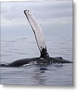 The Pectoral Fin Of A Humpback Metal Print