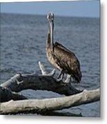 The Pelican Pose Metal Print