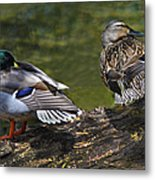 The Perfect Mallard Couple Metal Print