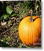 The Perfect Pumpkin In The Patch Metal Print