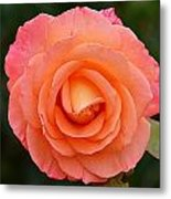 The Pink Rose Metal Print