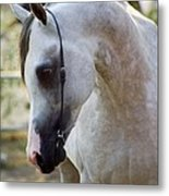 The Polish Arabian Horse Metal Print