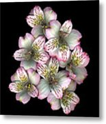 The Pollard Posie Metal Print