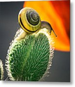 The Poppy And The Snail Metal Print