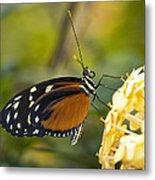 The Postman Butterfly  Metal Print