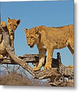 The Predatory Instinct Metal Print by Ashley Vincent
