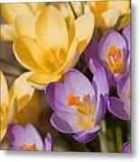 The Purple And Yellow Crocus Flowers Metal Print