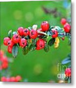 The Red Berries Metal Print by Aqil Jannaty