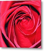The Red Rose Blooming Metal Print