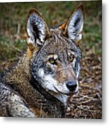 The Red Wolf Metal Print