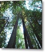The Redwood Giants Metal Print